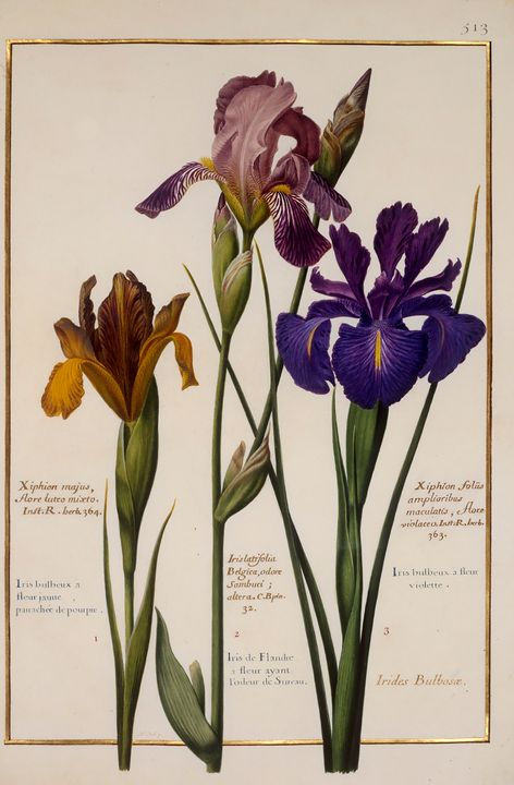 various Irises - PhotoStock-Israel