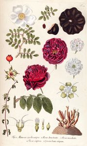 Hand painted botanical print