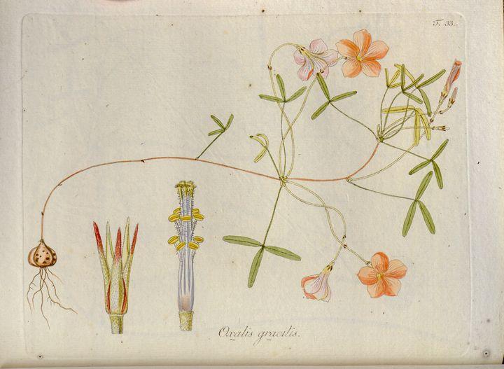 18th Century Oxalis illustration - PhotoStock-Israel