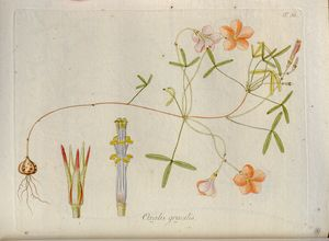 18th Century Oxalis illustration