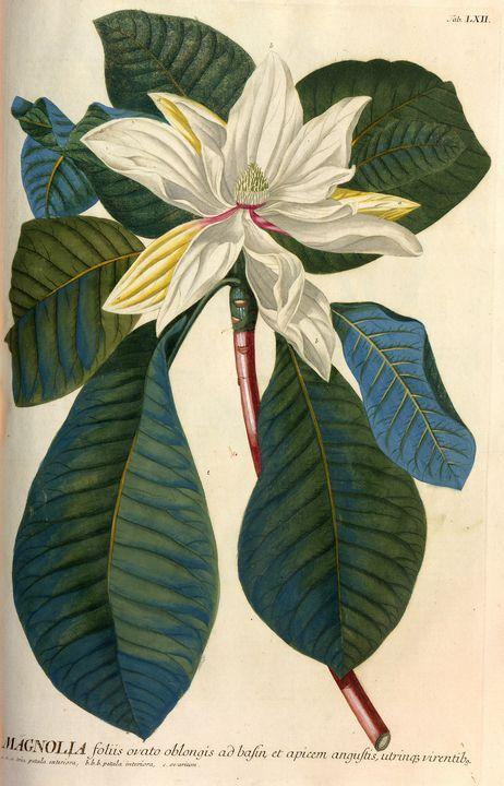 Flowering Magnolia tree - PhotoStock-Israel