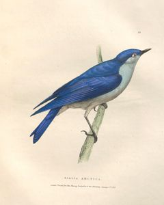 mountain bluebird (Sialia currucoide