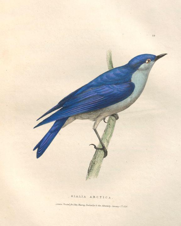 mountain bluebird (Sialia currucoide - PhotoStock-Israel
