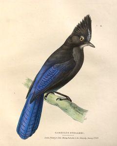 Steller's Jay Garrulus Stelleri