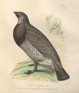 dusky grouse (Tetrao obscurus)