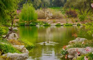 Swans in a Chinese Lake Garden