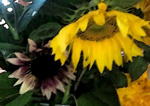 Sunflower Variety