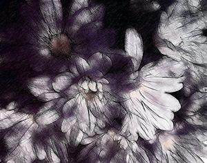Daisy flowers - CLA