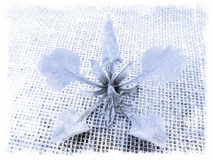 Flamboyant flower - CLA