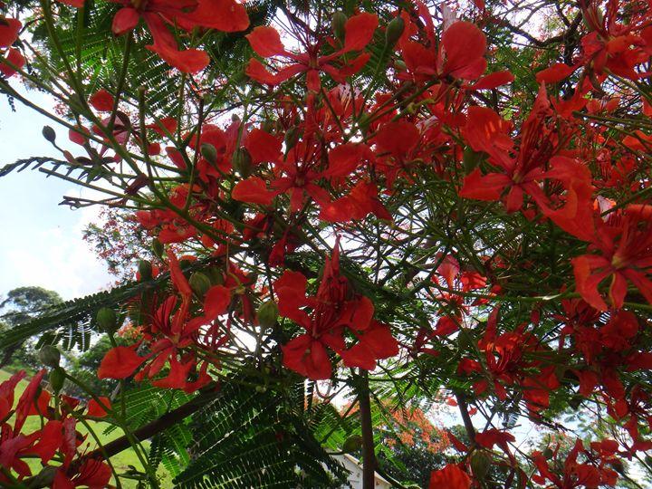 Flamboyant tree - Red flowers - CLA