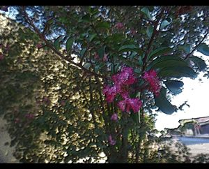 Crapemyrtle - Pink flowers