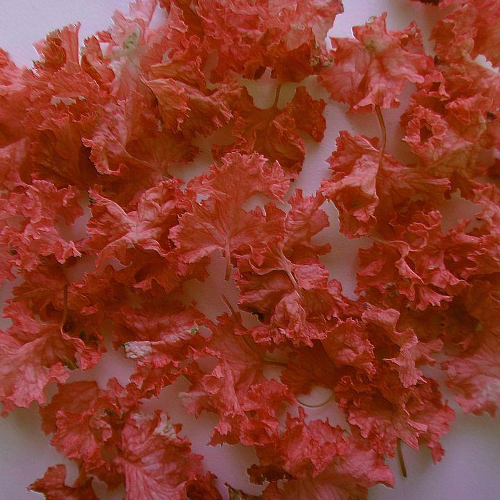 Queen flower - Magenta petals - CLA