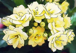 Yellow flower of kalanchoe