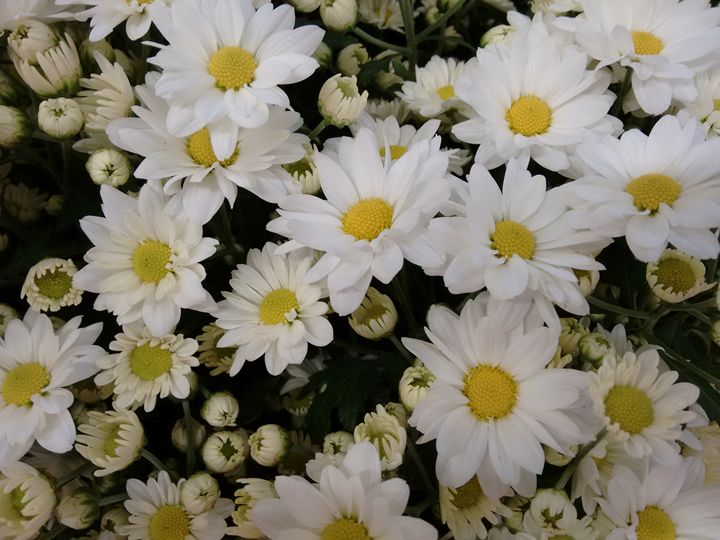 Chrysanthemum flowers - White - CLA
