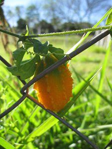 Saint cajetan's melon - Mature fruit - CLA