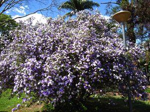 Manaca tree - CLA