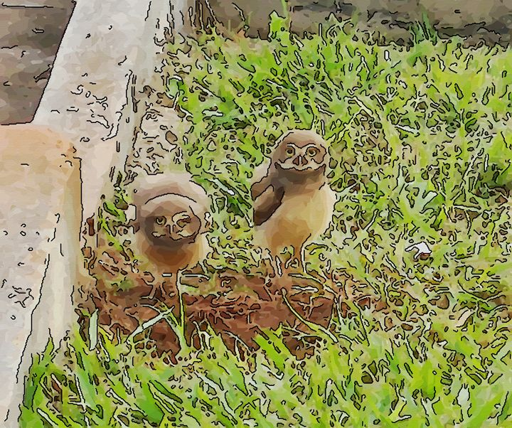 Owl, burrowing owl or howdy owl - CLA