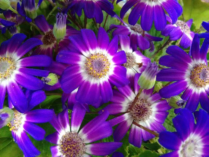 Cineraria's flowers Purple and white - CLA