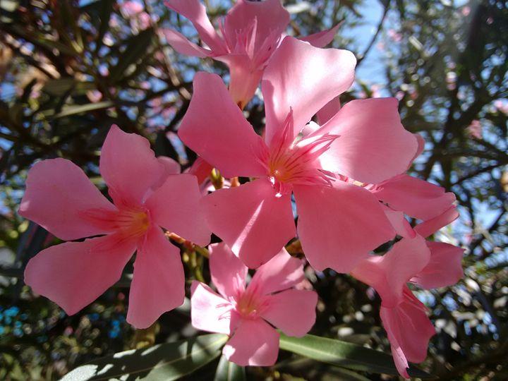 Oleander flowers - Pink - CLA