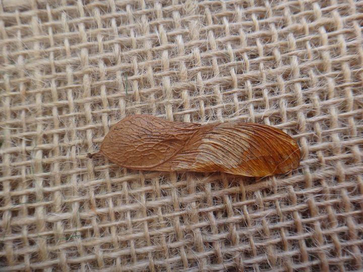Tipuana seed - CLA