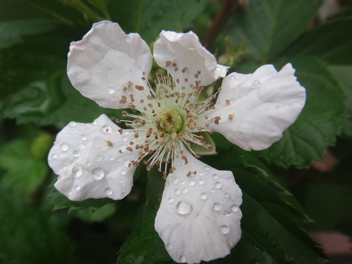 Blackberry flower - White - CLA