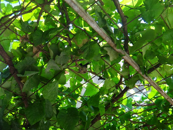 Nest of hummingbird in the grapevine - CLA