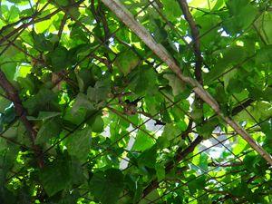 Nest of hummingbird in the grapevine - CLA