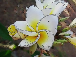 Frangipani - White and yellow flower - CLA