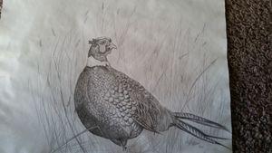 Male Ring Neck Pheasant