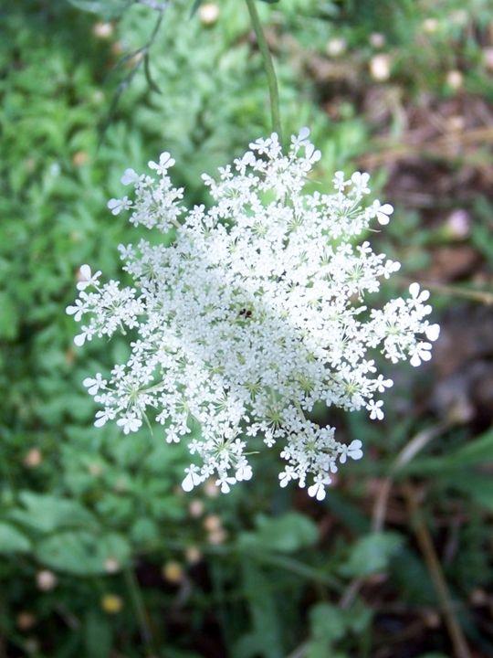 Queen Anne's Lace Flower - ShutterBug