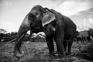 Female Asian elephant, eating