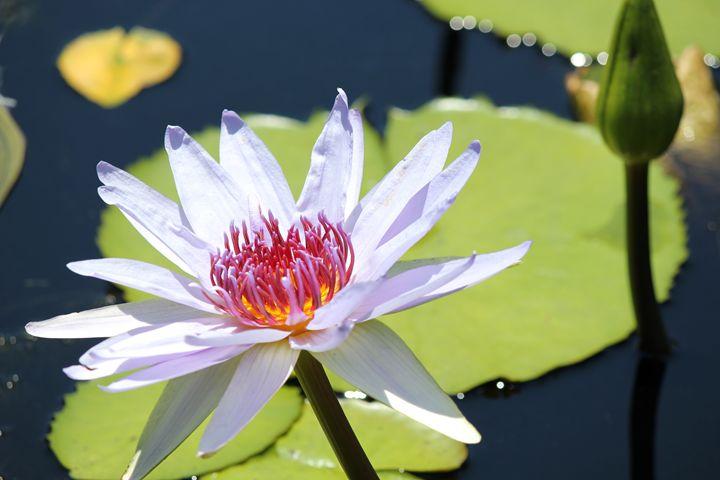Water Lily - Chandra Lynn PhotoArt