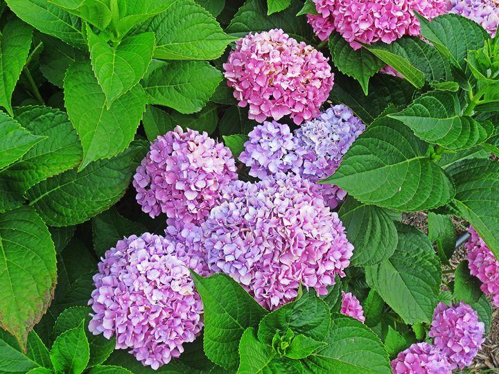 Purple Hydrangeas - Chandra Lynn PhotoArt