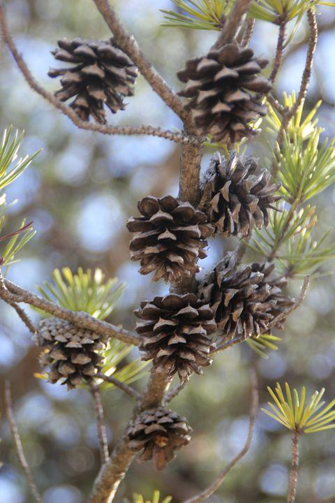Baby Pine Cones - Chandra Lynn PhotoArt
