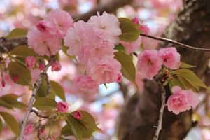 Cherry Blossoms Welcoming Spring