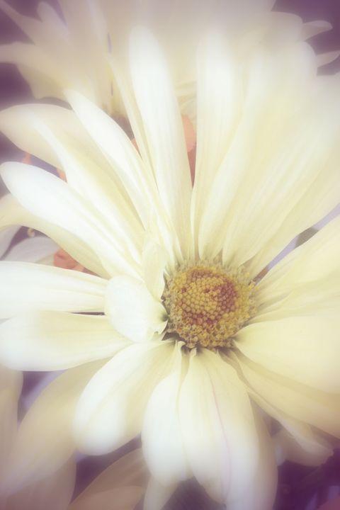 Daisy: Veiling Flare - Chandra Lynn PhotoArt