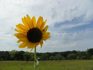 Sunflower, buddy and Kansas Sky