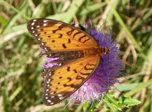 Regal Fritillary in her glory!