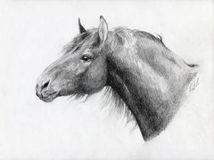 Warmblood Stallion