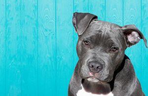 Cute Pitbull Dog - Amazing Prints