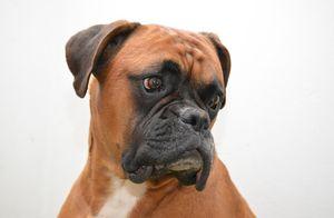 Boxer Dog Portrait - Amazing Prints