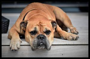 Old Lazy Boxer Dog