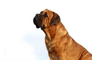 Boxer Dog Waiting