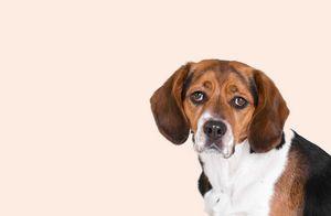 Sad Beagle Portrait