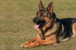 Royal German Shepherd