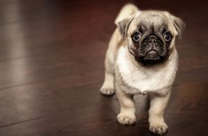 Cute Young Pug - Amazing Prints