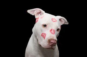 Kissed White Pit bull