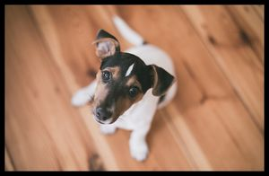 Cute Jack Russell - Amazing Prints