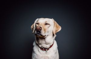 Funny Labrador Retriever - DogsLovers