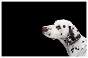 Majestic Dalmatian Profile Portrait - DogsLovers